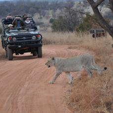 Go on an escorted safari to spot the 'big five': lion, elephant, buffalo, leopard and rhino.