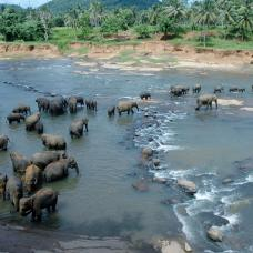 Enjoy lunch and watch the baby elephants being fed before accompanying them to the local river.
