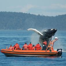 Spot humpback and killer whales and dolphins on this three-hour cruise from Victoria Harbour.